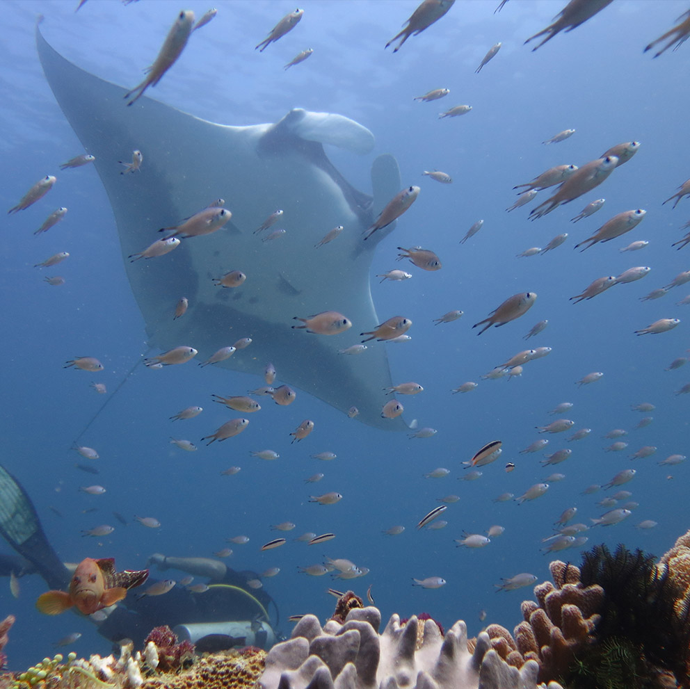 ray scubadiving fish diver indonesia rote island