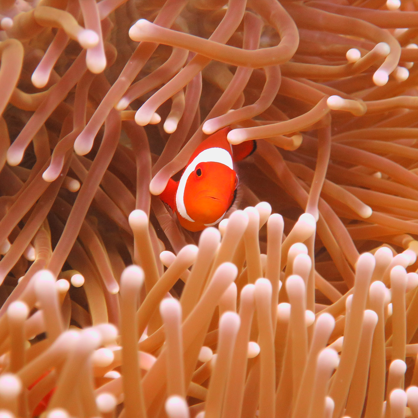 nemofish orange fish rote island nemberala diving underwaterphotography indonesia