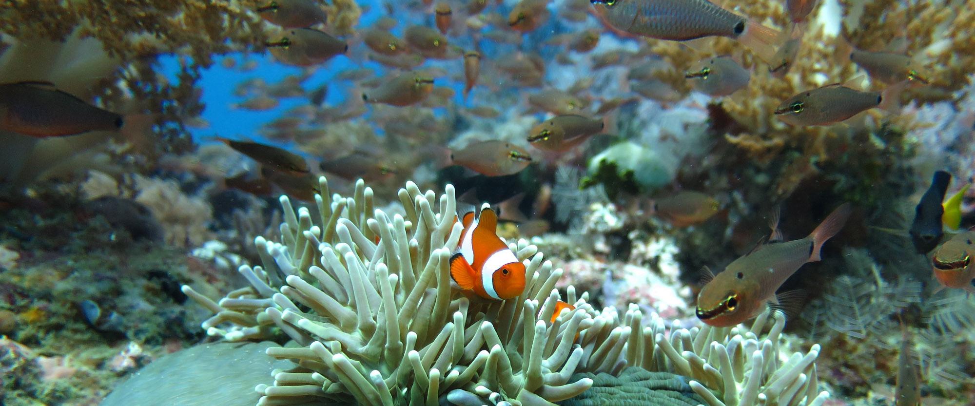 clownfish fishes diving padi paditv anugerah resort indonesia rote island