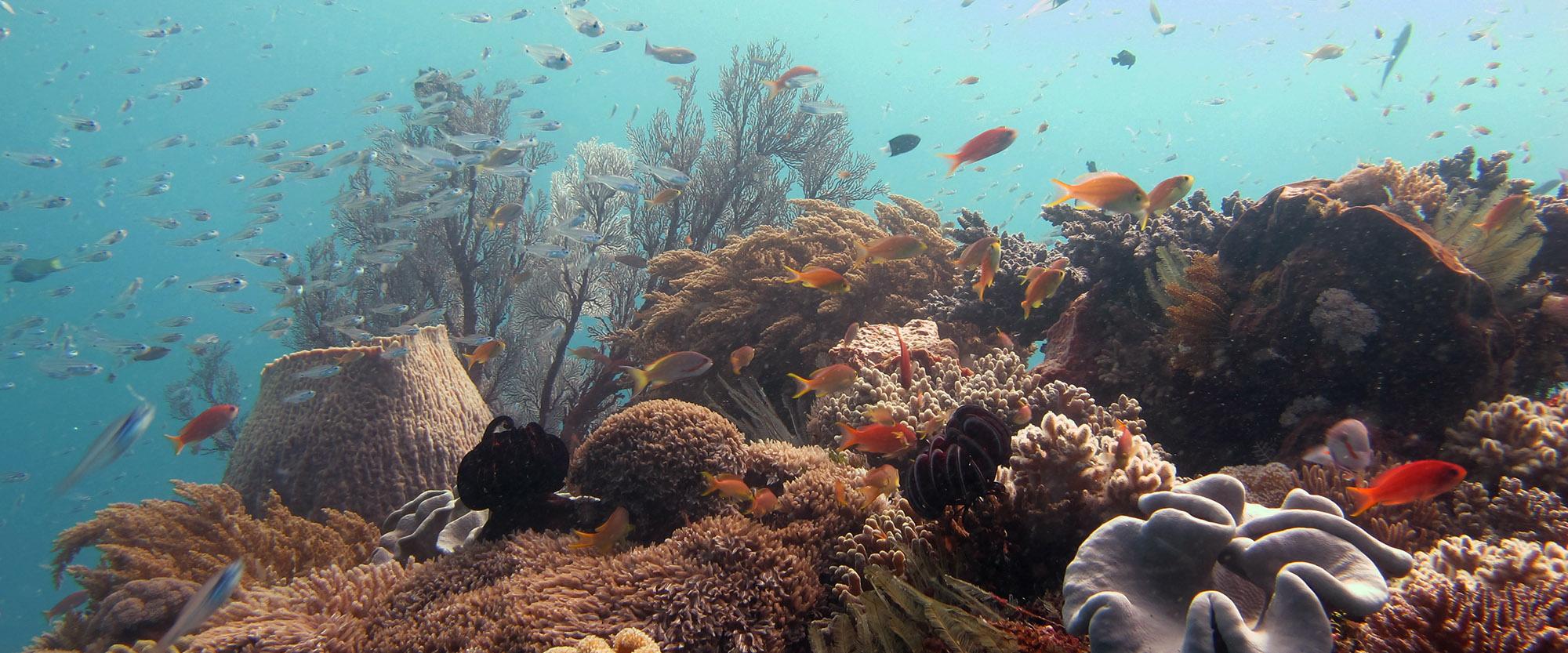 diving fish underwater padi nemberala rote island indonesia