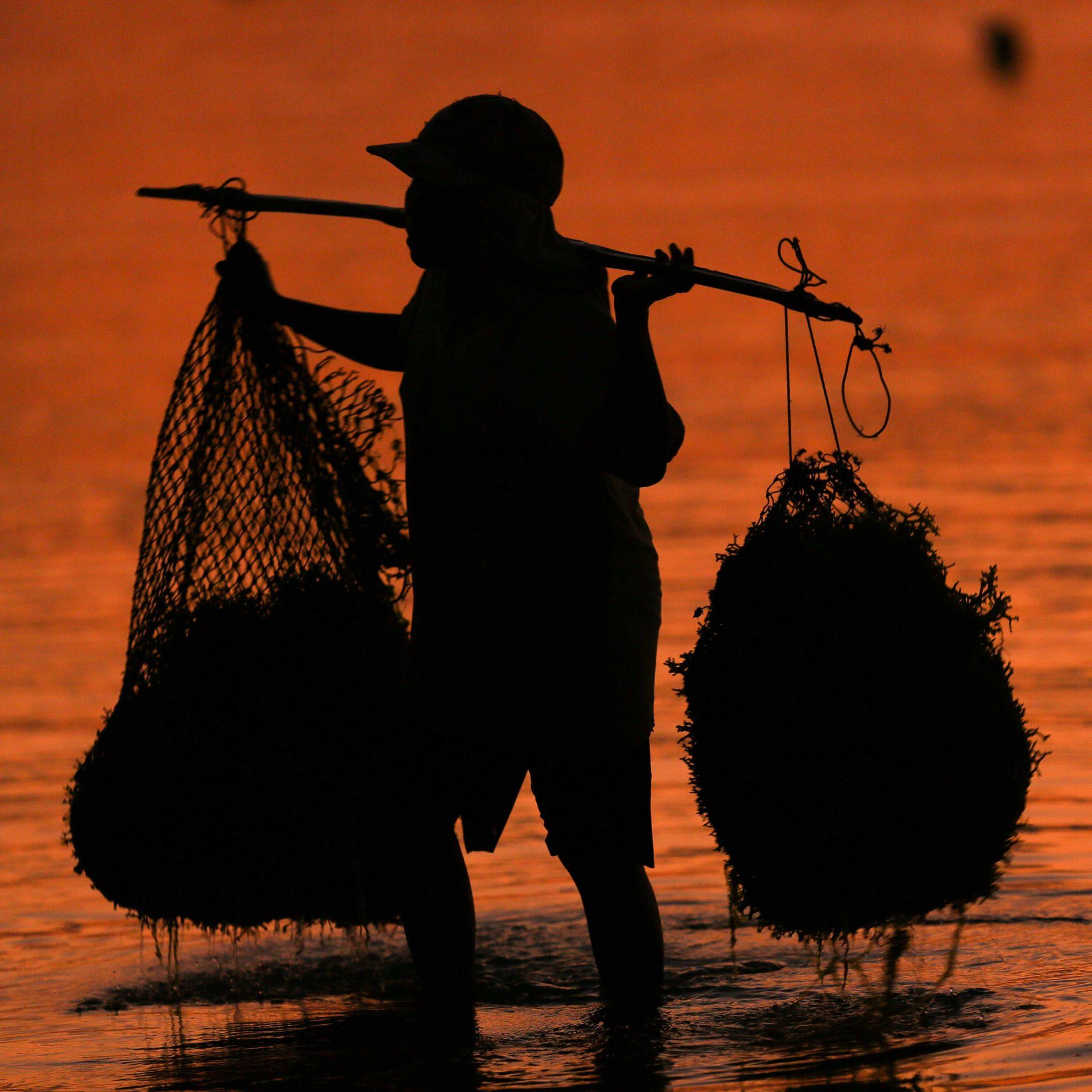 indonesian man farmer seaweed indonesia rote island anugerah