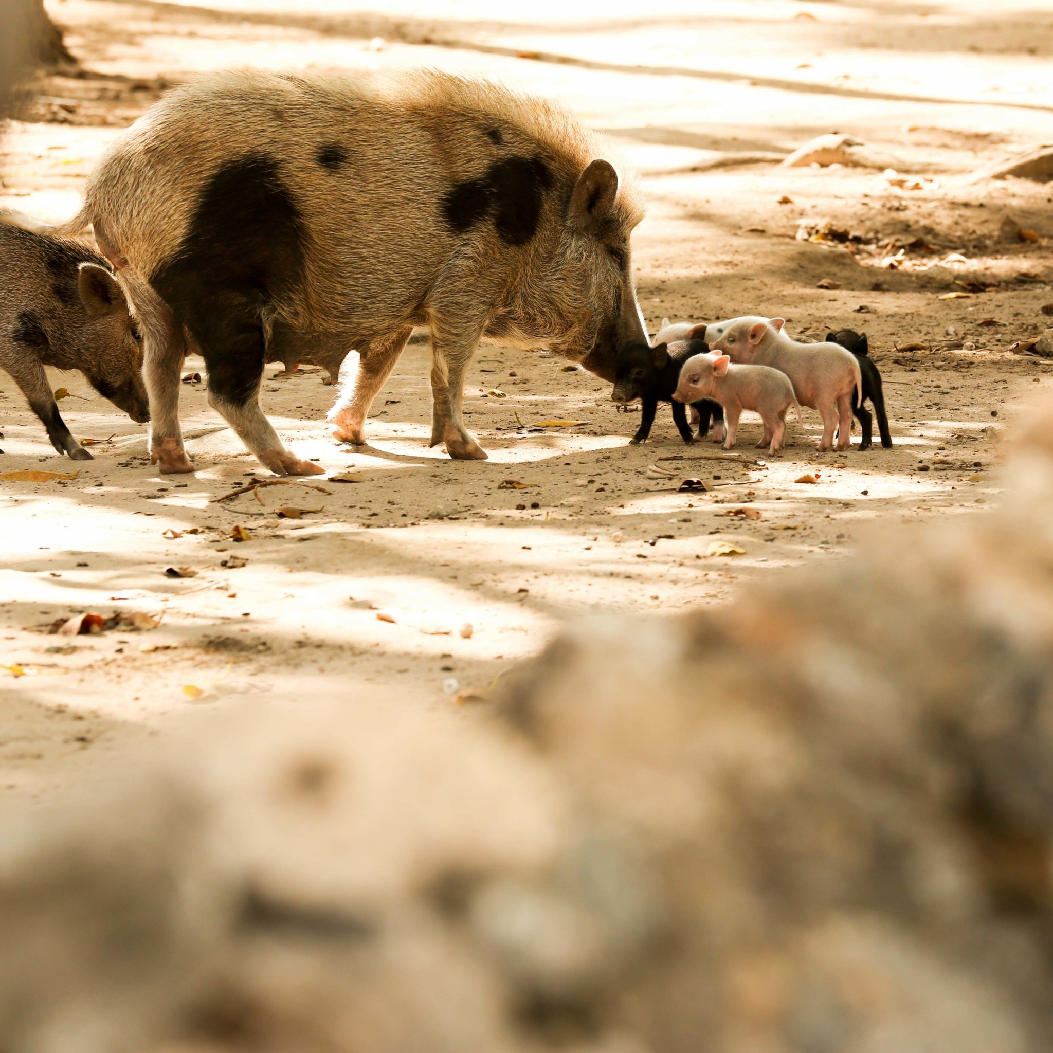 small pig babi on the road rote island nemberala indonesia